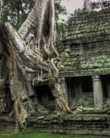 Tree at Angkor Wat