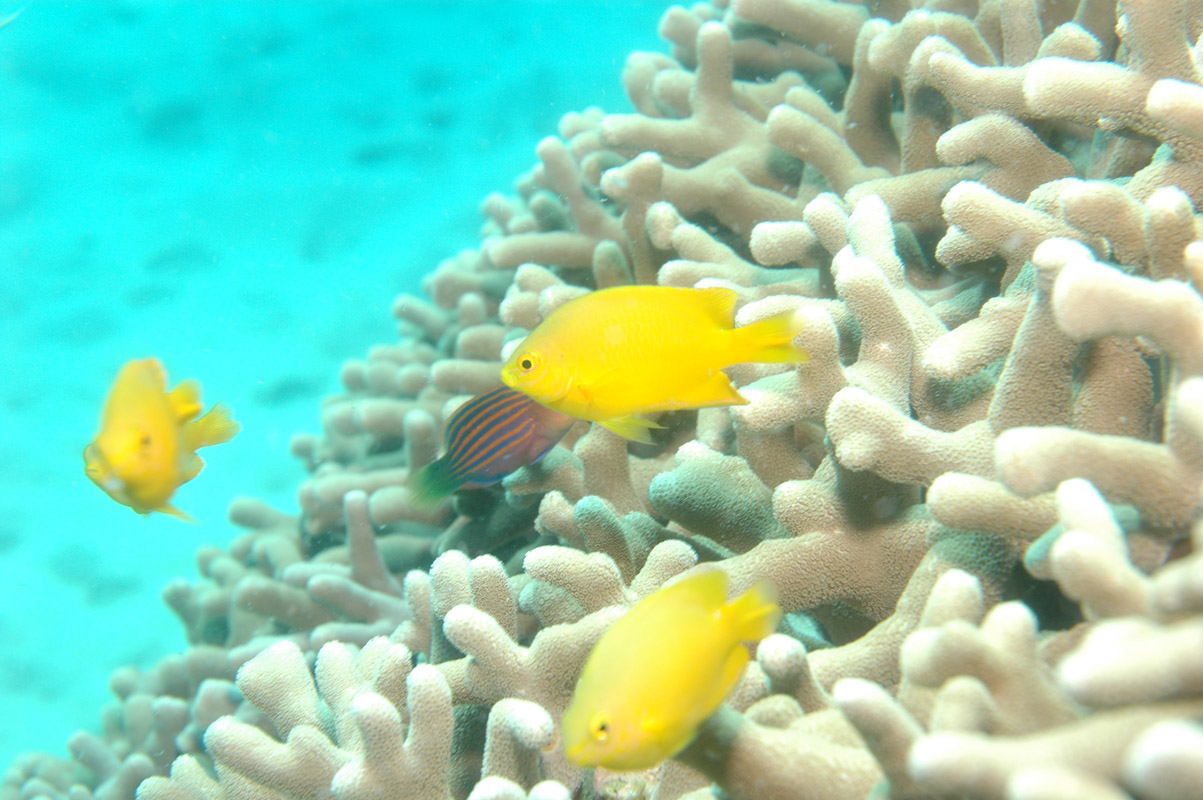 Coral reef fish yellow - photo#4