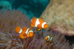 3 Clown Fish at Great Barrier Reef