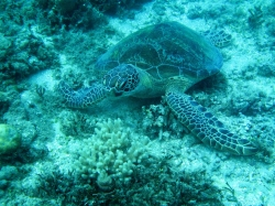 Sea Turtle Found at the Bottom of Great Barrier Reef