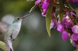 Colibri at Machu Picchu