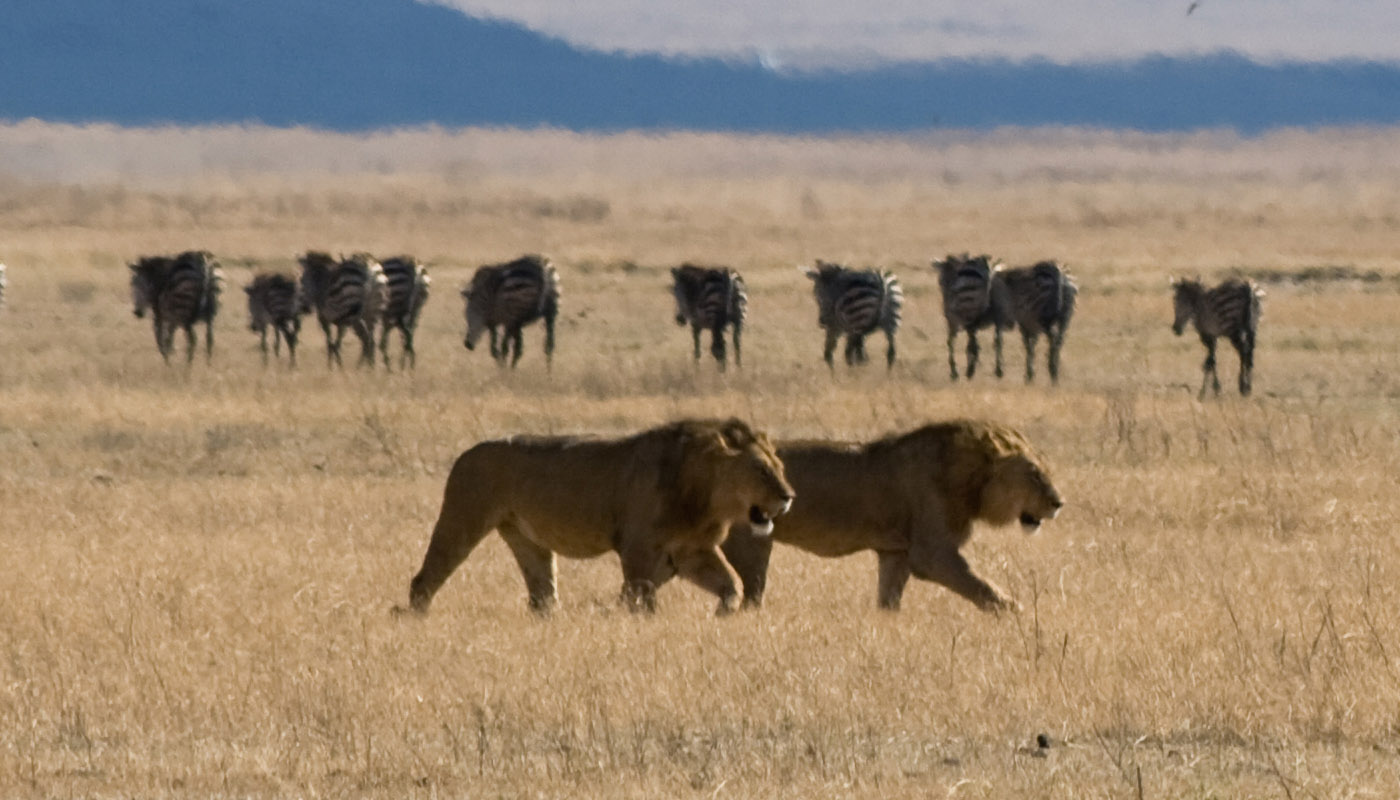 zebras and lions - photo #34