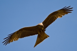 Black Kite in Flight