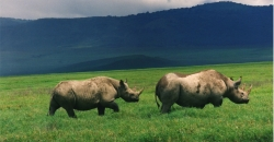 Pair of Black Rhinos