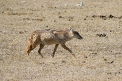 Golden Jackal at Ngorongoro Crater