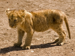 Lion Cub on Dirt Road