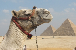 Camel, Khafre and Menkaure Pyramids Background