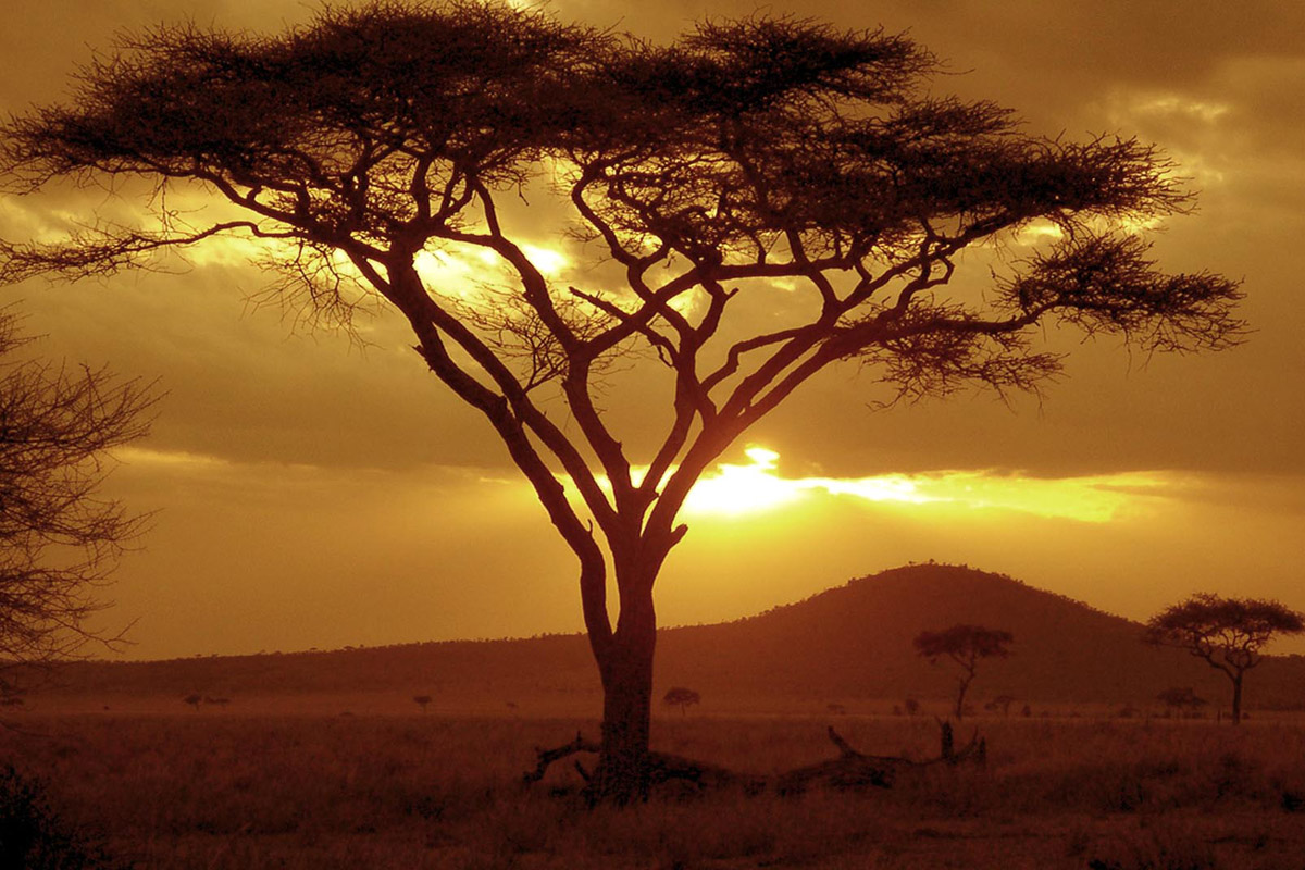 Sunset on acacia treeserengeti national park tanzania