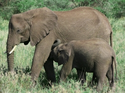 Elephant Mother Feeding Her Calf at Serengeti National Park
