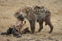 Wildebeest Eaten by Hyena at Serengeti