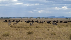 Zebras and Buffalos at Serengeti