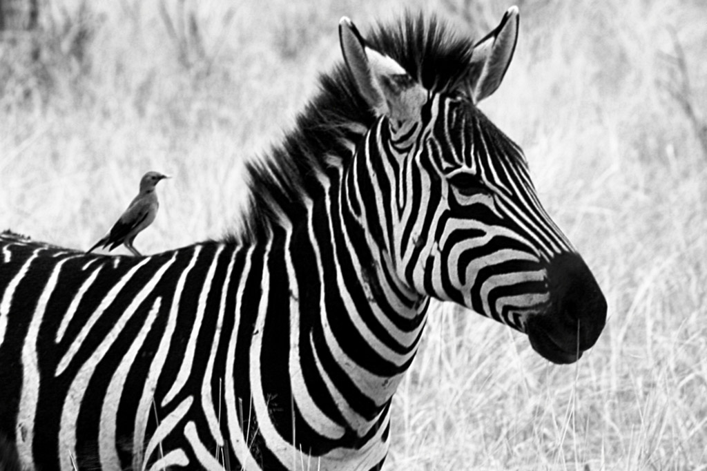 Black and white zebra with a tiny friend