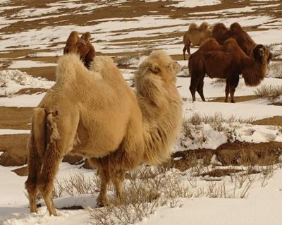 Gobi Desert transportation 400