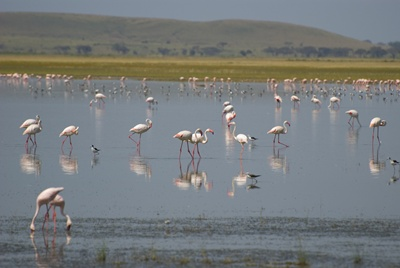 Amboseli Flamingos 400