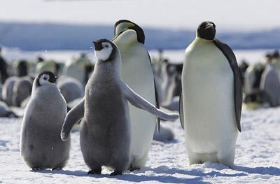 Emperor penguin 400