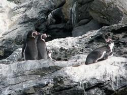 Humboldt-Penguins