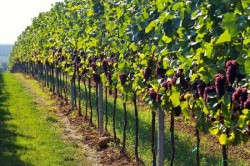 Burgundy-France