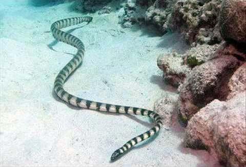 Image result for Belcher's Sea Snake