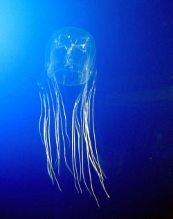 Box-Jelly-Fish