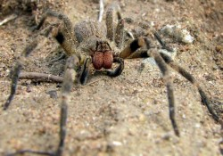 Wandering-Spider