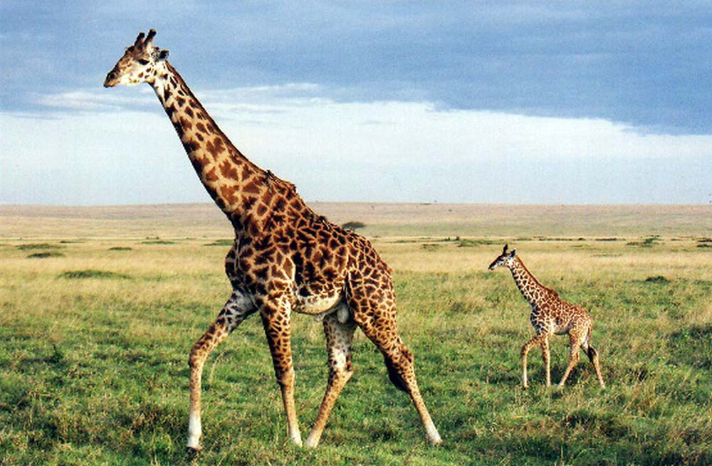 Natural Born Record Holders: Tallest animal on land.