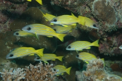 Lots of Yellow Fish at Great Barrier Reef