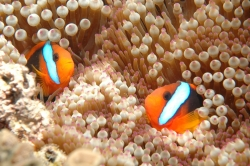 2 Beautiful Clownfish at Great Barrier Reef