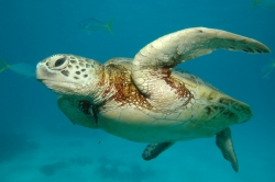 A Sea Turtle at Great Barrier Reef