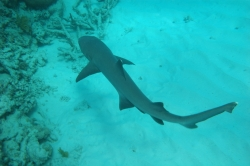 Reef Shark at Great Barrier Reef