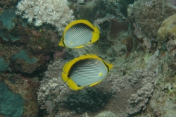 Two Fish at Great Barrier Reef