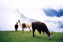 Llamas Near The Great Machu Picchu