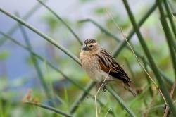 Fan Tailed Widowbird