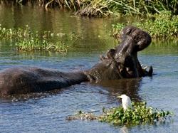 Hippo Falling Asleep