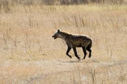 Hyena at Ngorongoro Crater