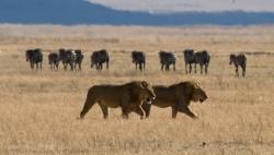 Do Lions Eat Zebras?