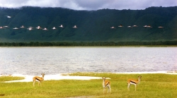 Thomsons Gazelles and Flamingos