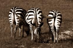 Zebra Behinds