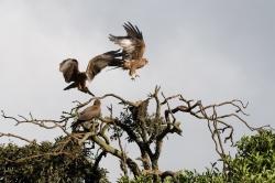 Twany Eagles