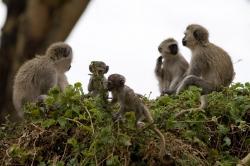 Vervet Monkeys Enjoying Themselves