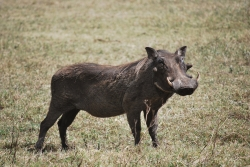 Warthog at Ngorongoro Crater