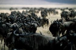 Horde of Wildebeest