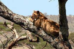 Female Lion on Tree