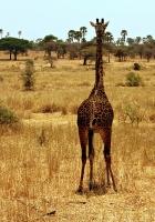 Giraffe Taking From Behind at Serengeti
