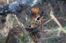 Is This Bambi? at Serengeti National Park