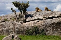 Male Lions on Rock