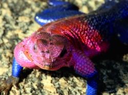 Pink Headed Lizard at Serengeti