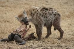 Wildebeest Eaten by Hyena at Serengeti