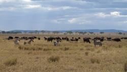 Zebras and Buffalos at Serengeti